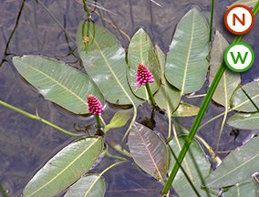 Amphibious Bistort (Persicaria amphibia)