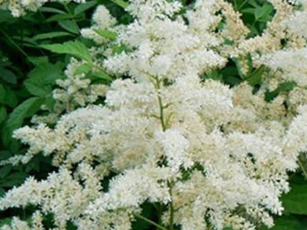 Astilbe 'Snowdrift' (False goat's beard)