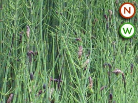 Banded Horsetail