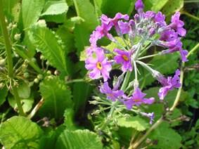 Primula Beesiana (Bee's Primula)