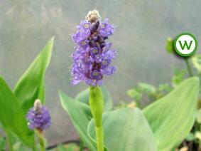 Blue Pickerel (Pontederia cordata)