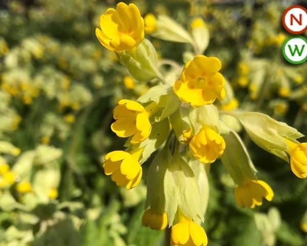 Common cowlsip (Primula veris)
