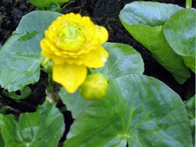 Double Marsh marigold