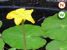 Fringe lily (Nymphoides peltata)
