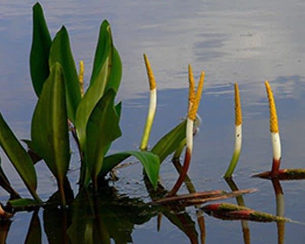 Golden Club Orontium aquaticum