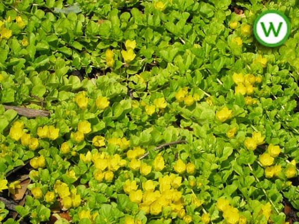 Golden Creeping Jenny (Lysimachia nummularia)