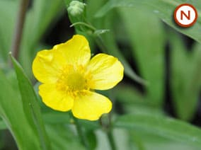 Greater spearwort (ranunculus lingua)