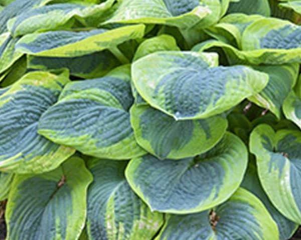 Bog Garden Plants Puddleplants