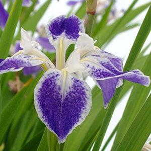 Iris Colchesterii