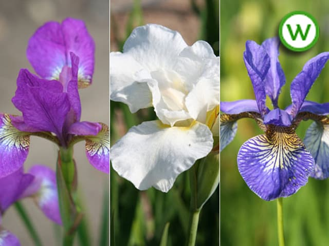 Iris collection - Water irises