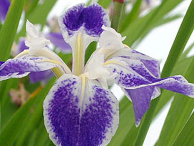 Iris laevigata 'Colchesterii'