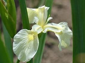 Iris pseudacorus 'Alba'