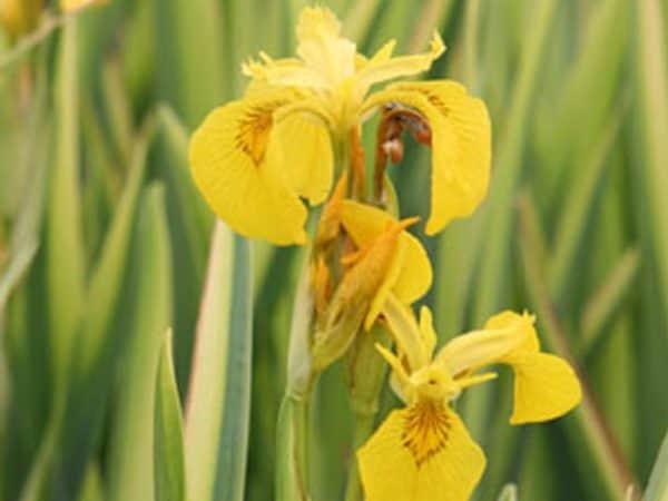 Yellow flag 'Variegata' Iris pseudacorus 'Variegata'
