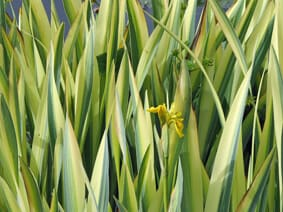 Iris pseudacorus 'Variegated Yellow'