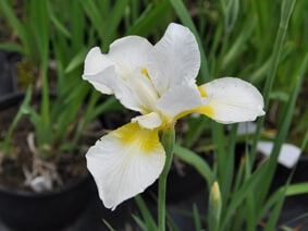 Iris sibirica 'Dreaming Yellow'