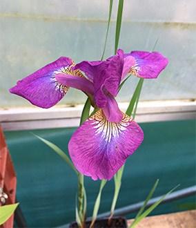 Iris sibirica 'Sparkling Rose'