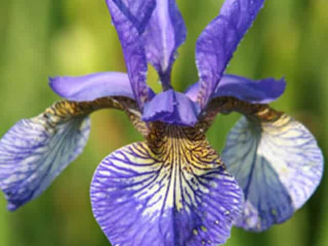 Iris sibirica 'Tropic Night'
