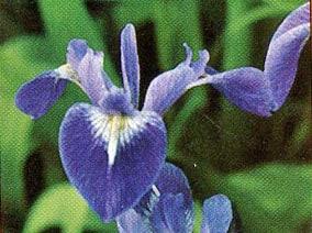 Iris versicolor (Blue Purple)