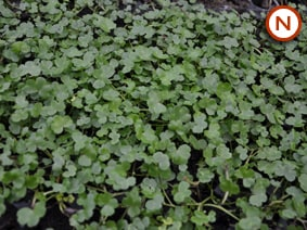 Ivy Leaves Crowfoot