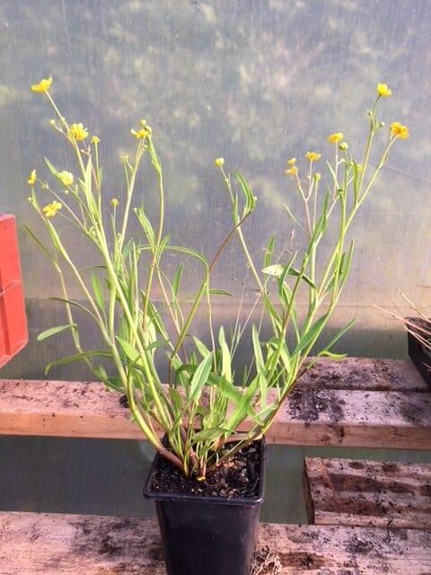 Lesser spearwort 2