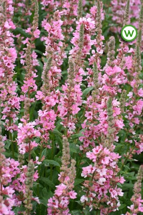 Loosestrife Blush