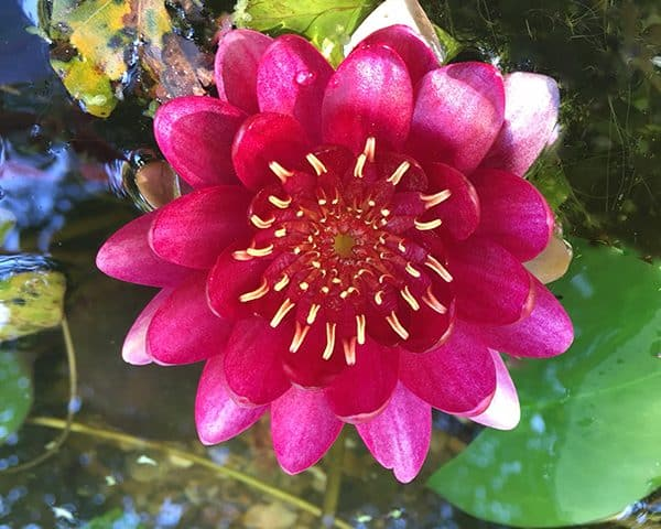 Water lily (Nymphaea) 'Perry's Baby Red'