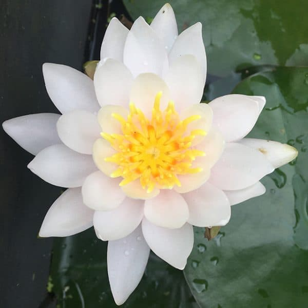 Water lily (Nymphaea) Odorata 'William B. Shaw'