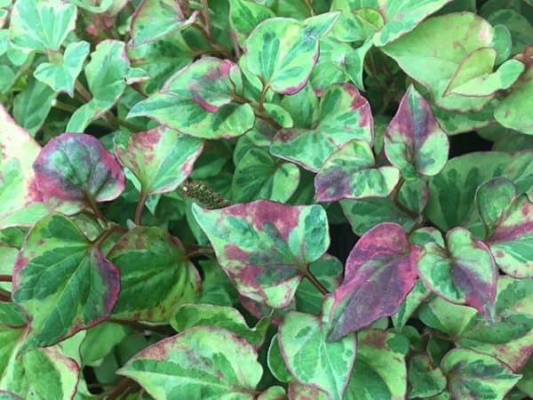 Houttuynia cordata (Orange peel plant) 'Boo Boo'