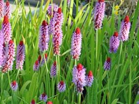 Orchid primrose 2