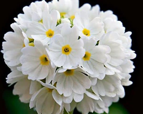 Primula denticulata var. alba (drumstick primula white)