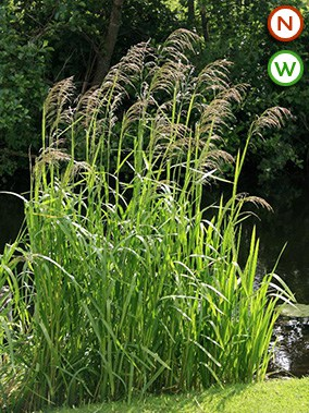 Reed sweet grass