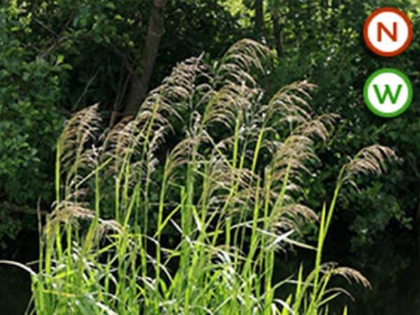 Reed sweet grass (Glyceria maxima)