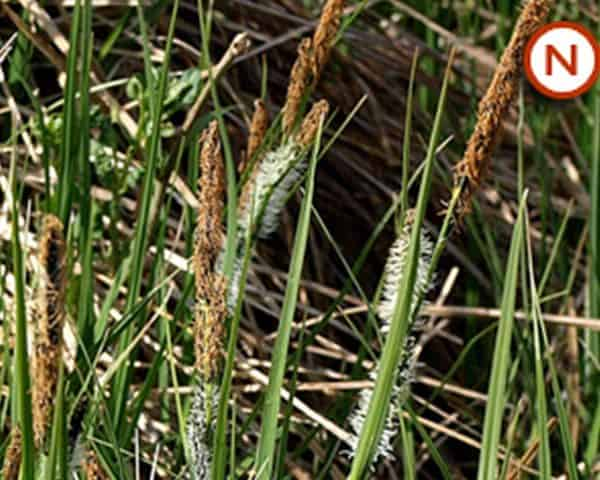 Carex acuta (Slender-tufted sedge)