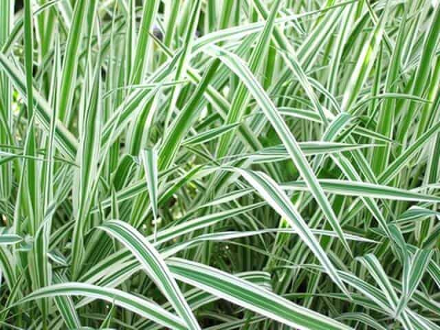 Variegated sweet reed grass (Glyceria maxima variegata)
