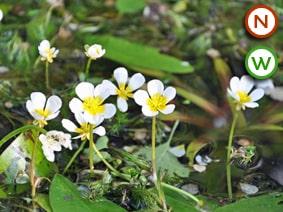 Water crowfoot (Ranunculus aquatilis) Pond Plant For Sale UK