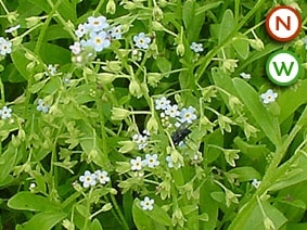Water forget-me-not blue Myosotis scorpioides