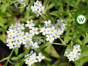 Water forget-me-not (white) Myosotis scorpioides alba