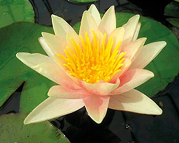 Water lily (Nymphaea) 'Paul Hariot'