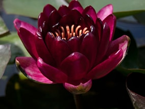 Water lily (Nymphaea) 'Black Princess'