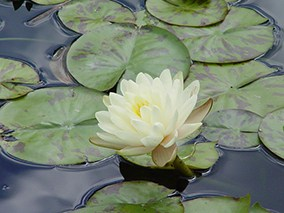 Water lily (Nymphaea) 'Denver'