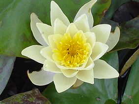 Water lily (Nymphaea) 'Marliacea Chromatella'