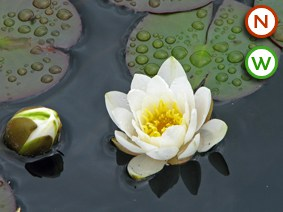 Water lily (Nymphaea) alba - Native white