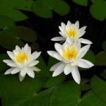 Water lily Odorata Minor
