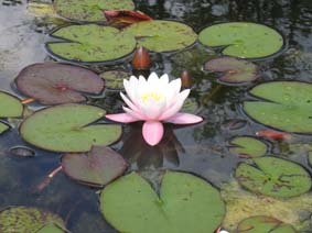 Water lily - Pink Marliacea Carnea