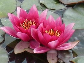 Water lily - Pink Rene Gerard