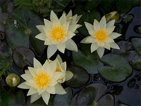 Waterlily (Nymphaea) 'Pygmaea Helvola'