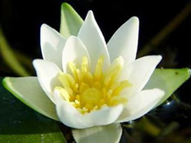Water lily 'Pygmaea Alba' Nymphaea 'Pygmaea Alba'