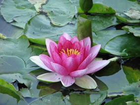 Water lily (Nymphaea) 'Attraction'