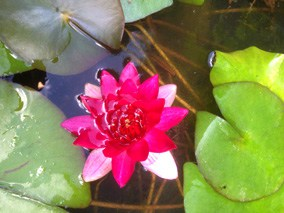 Water lily Red Ellisiana