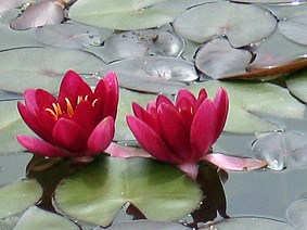 Water lily - Red Froebelii